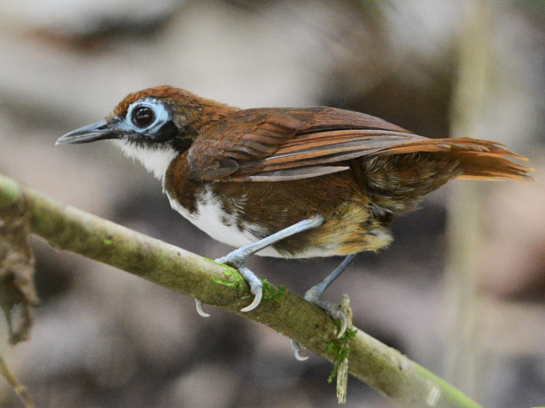 Bicolored Antbird - David Hollie