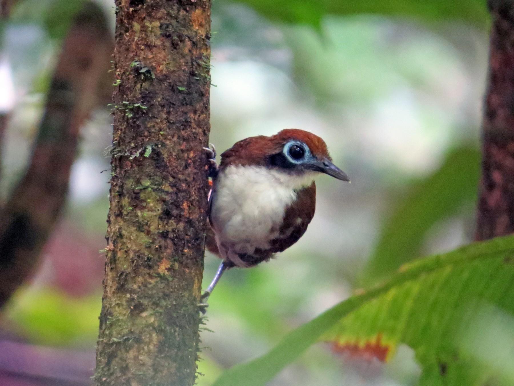 Bicolored Antbird - kenneth reyes