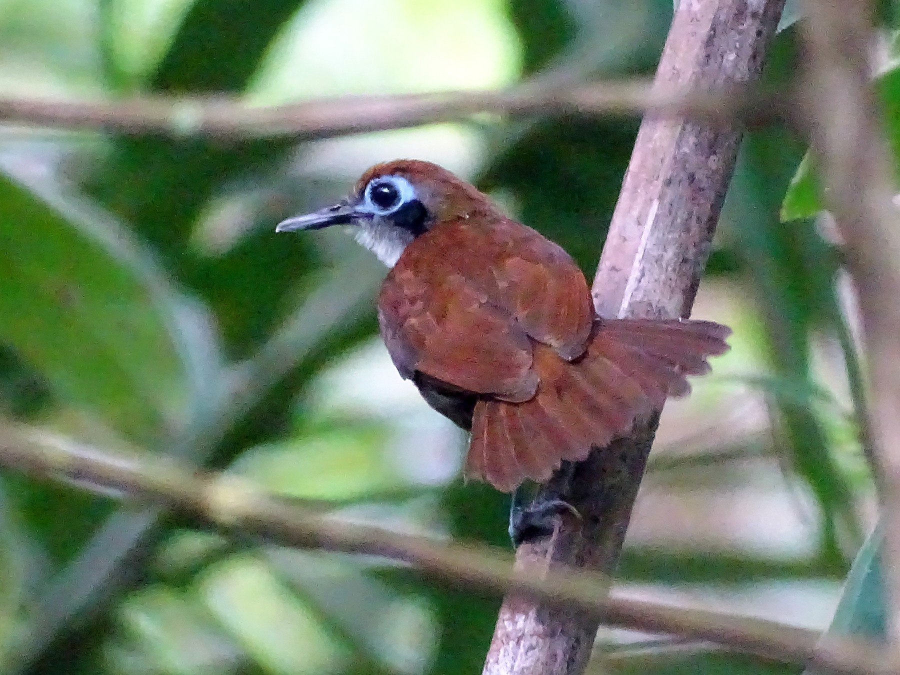 Bicolored Antbird - Alfonso Auerbach