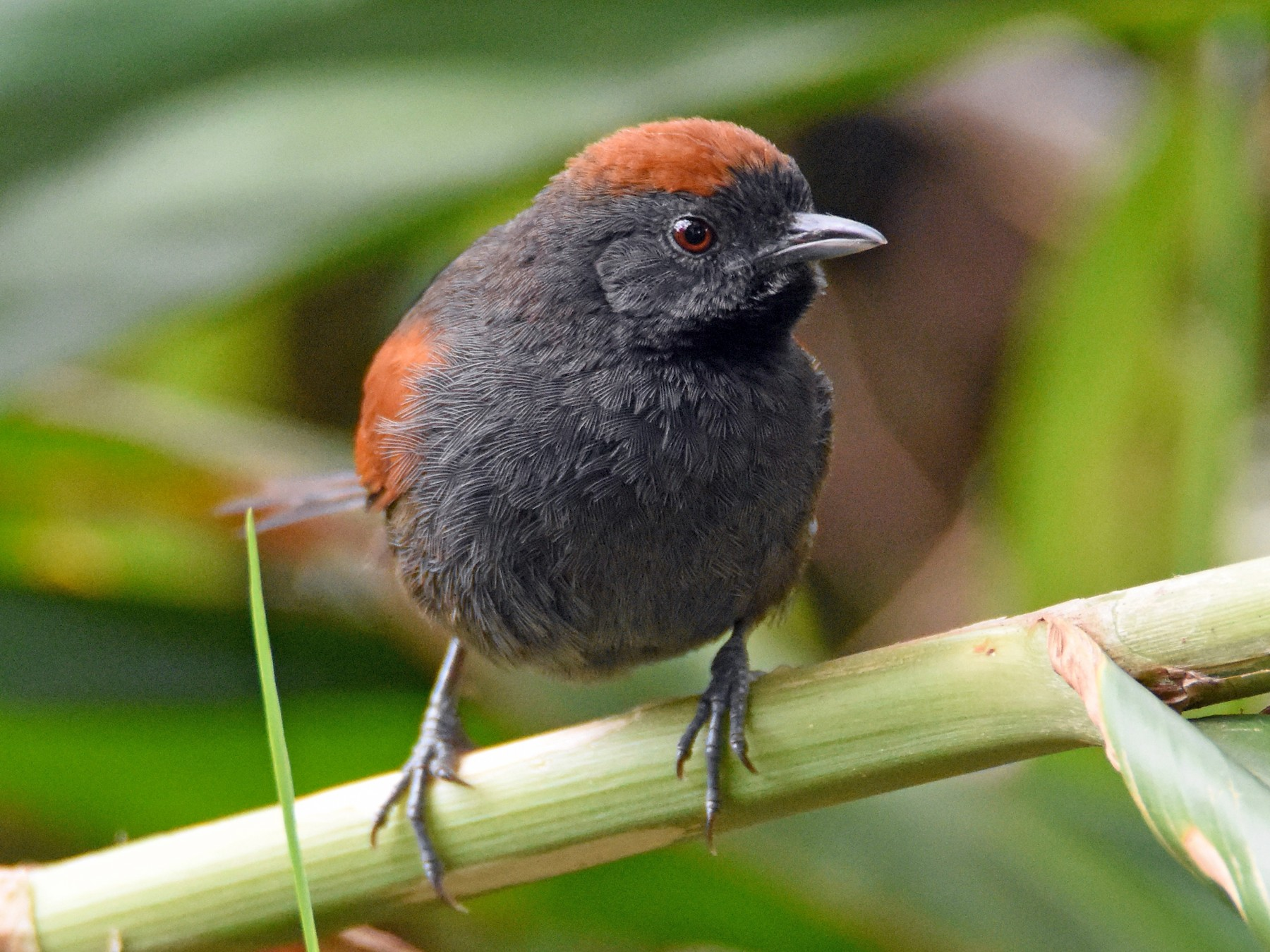 Slaty Spinetail - Luke Berg