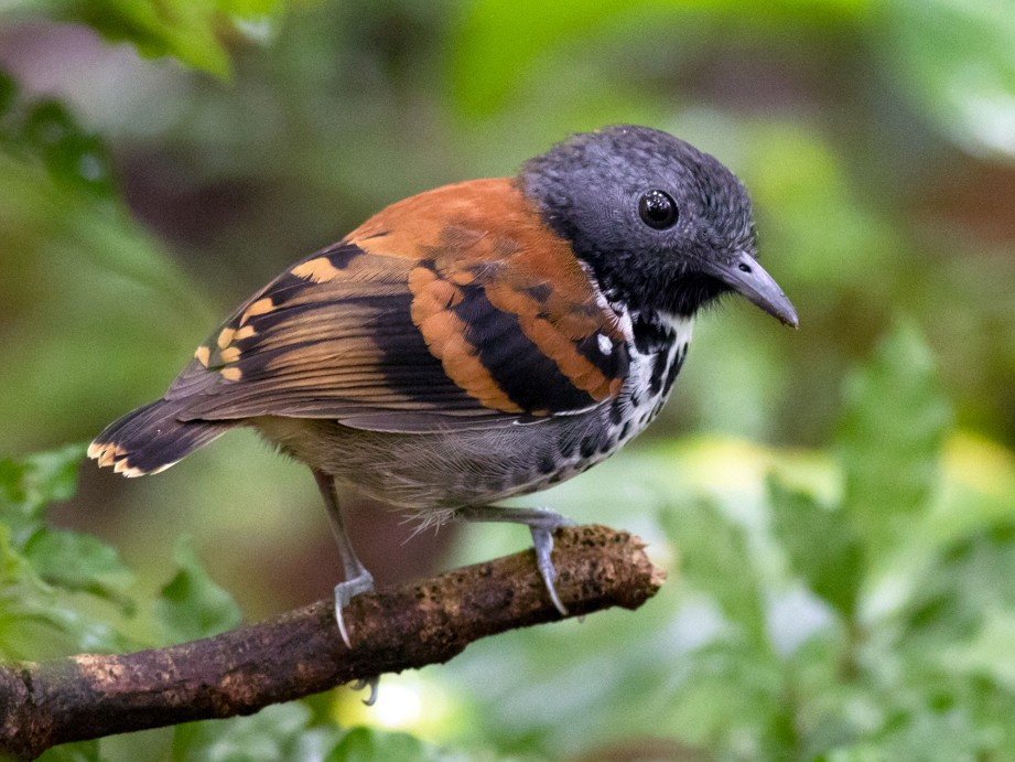 Spotted Antbird - Tom Johnson