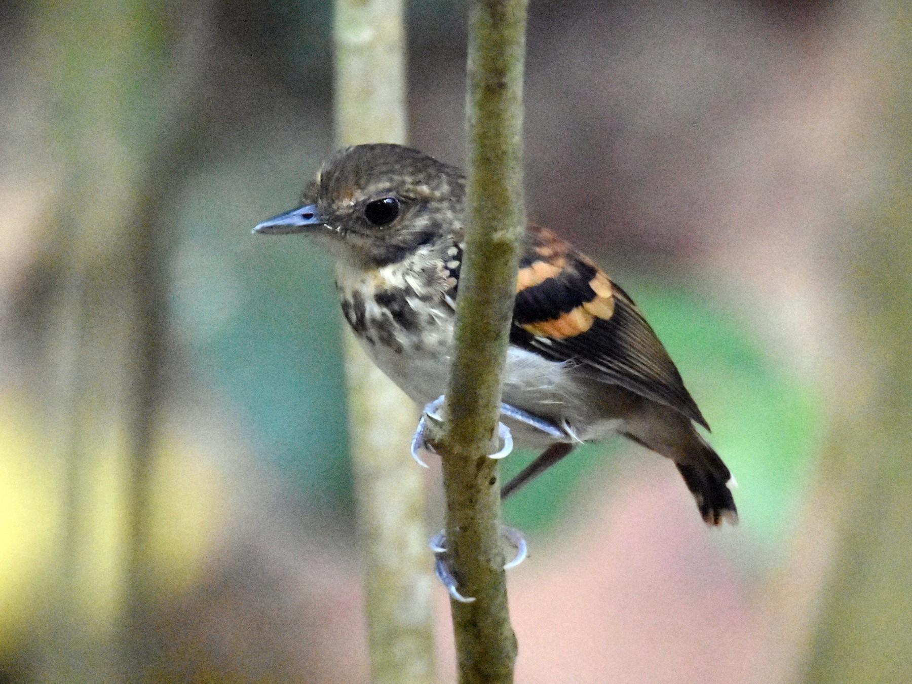 Spotted Antbird - Luke Berg