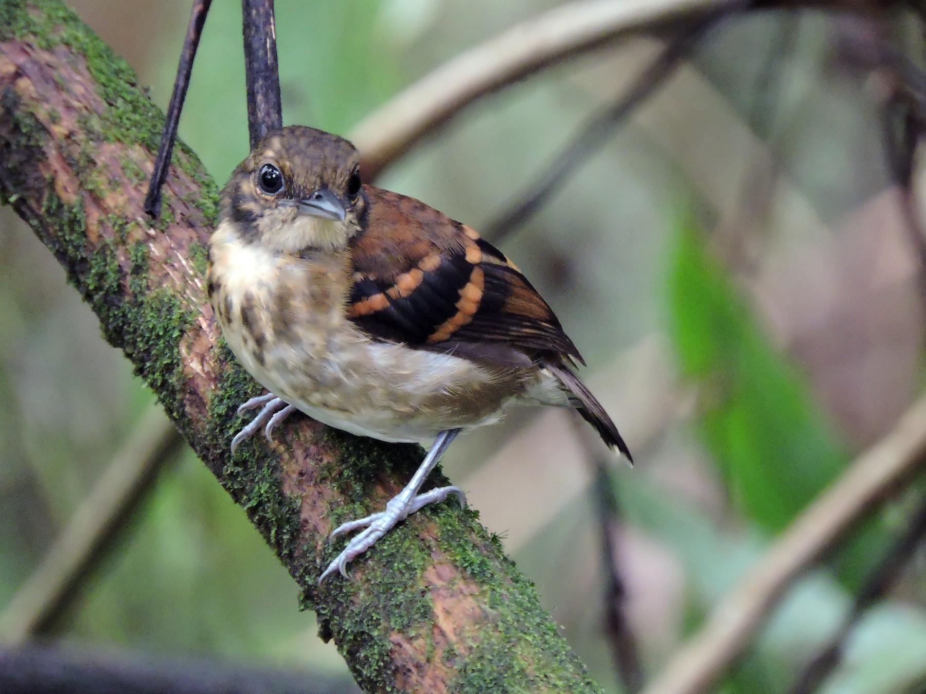 Spotted Antbird - Edwin Munera