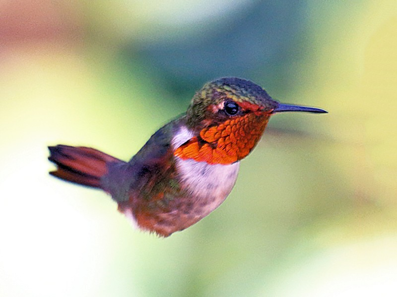 Scintillant Hummingbird - Stan Lilley