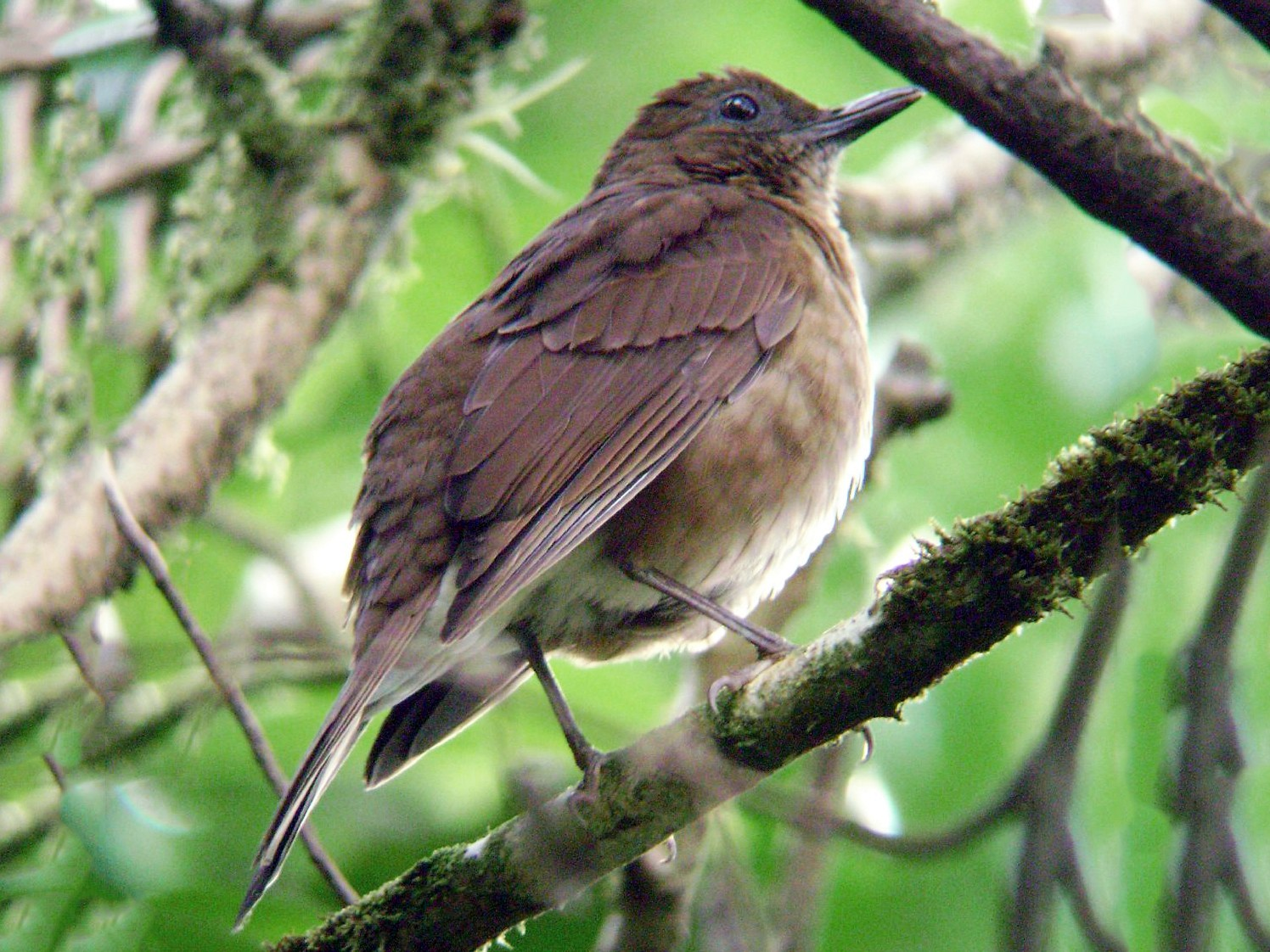 Pale-vented Thrush - Euclides