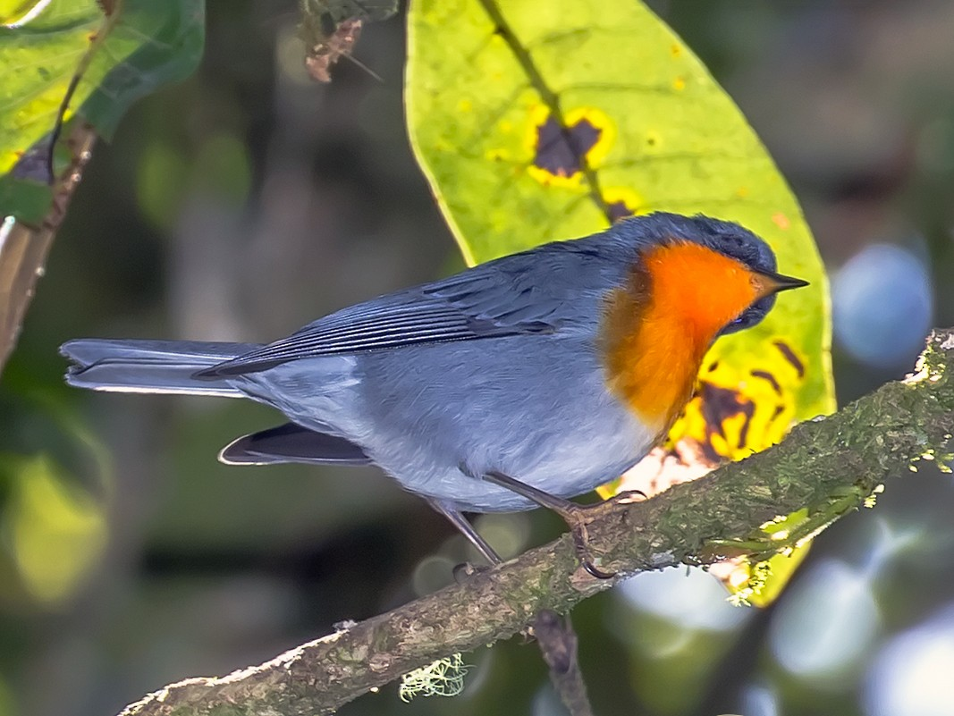 Flame-throated Warbler - Frank Salmon