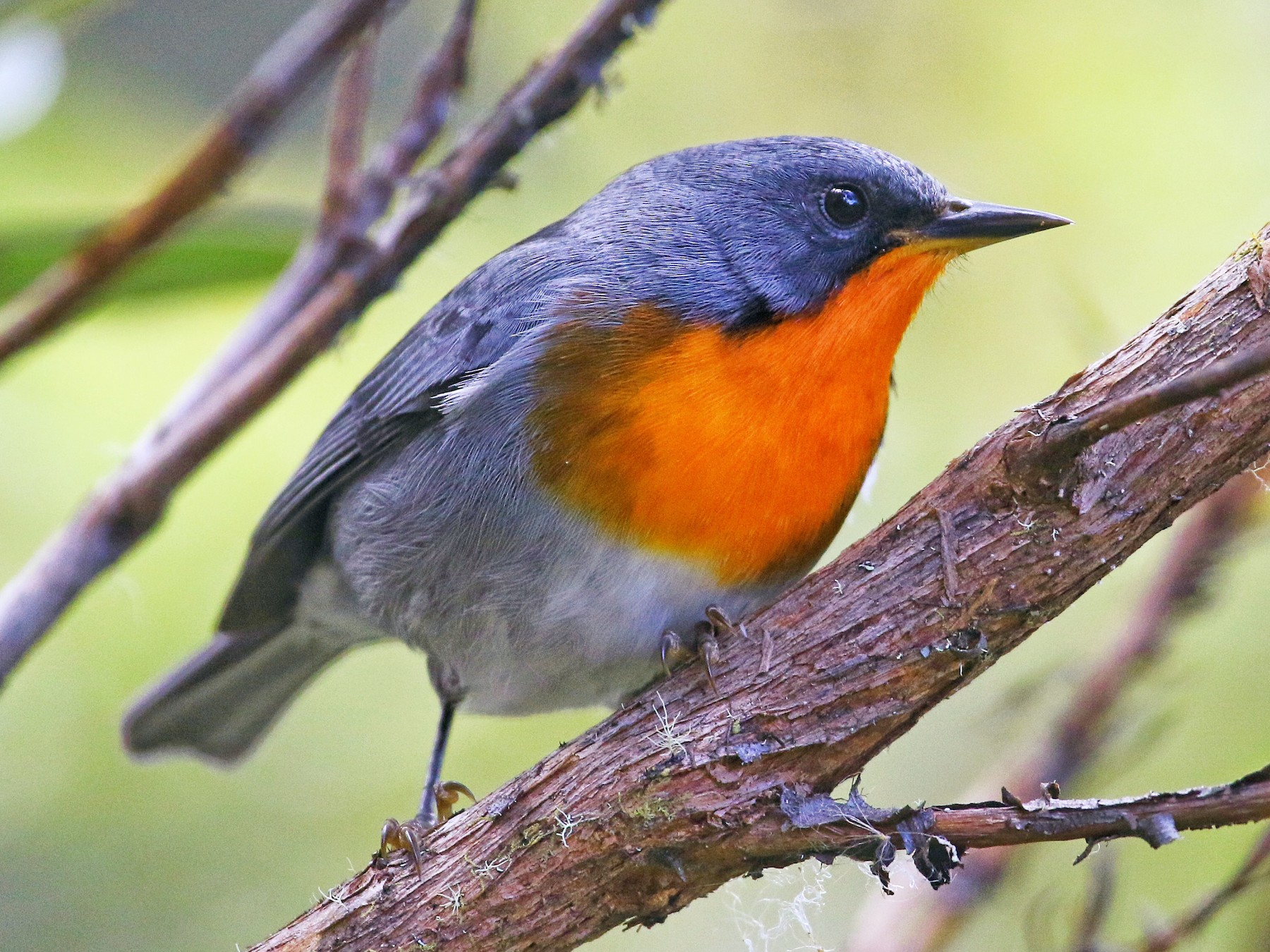Flame-throated Warbler - Eric Heisey