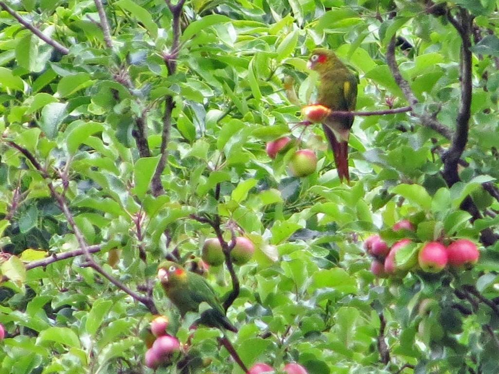 Sulphur-winged Parakeet - Allen Lewis