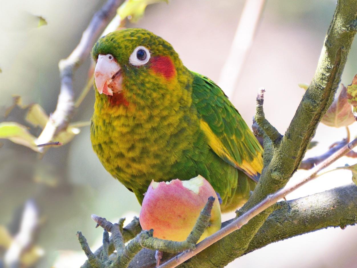 Sulphur-winged Parakeet - Jeff Martineau