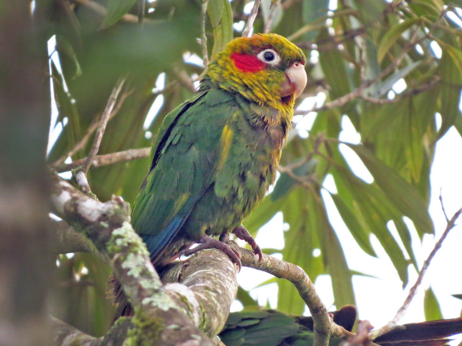 Sulphur-winged Parakeet - Róger Rodríguez Bravo