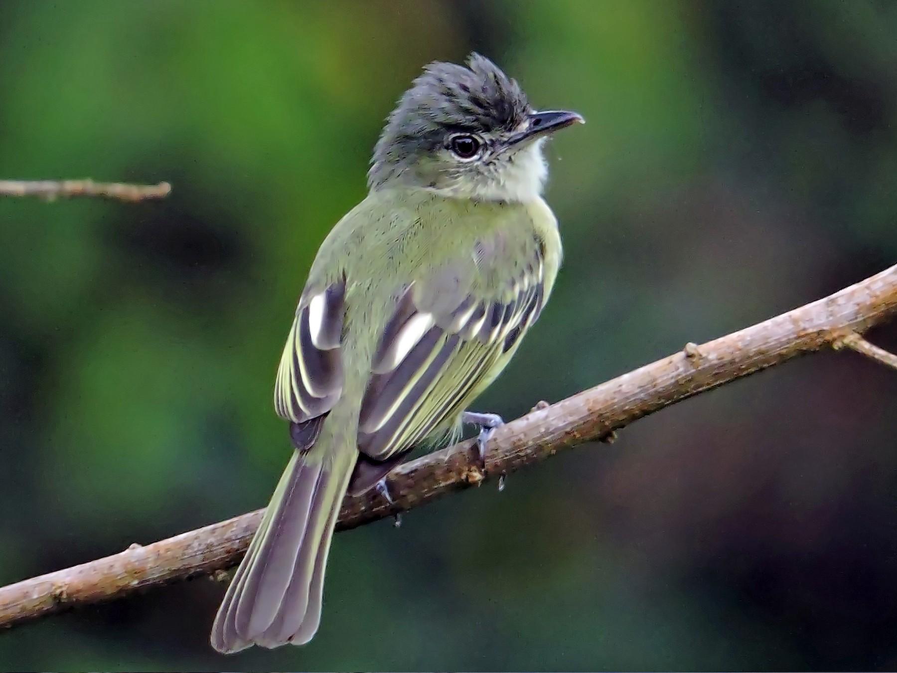 Yellow-margined Flycatcher - Jorge Muñoz García   CAQUETA BIRDING