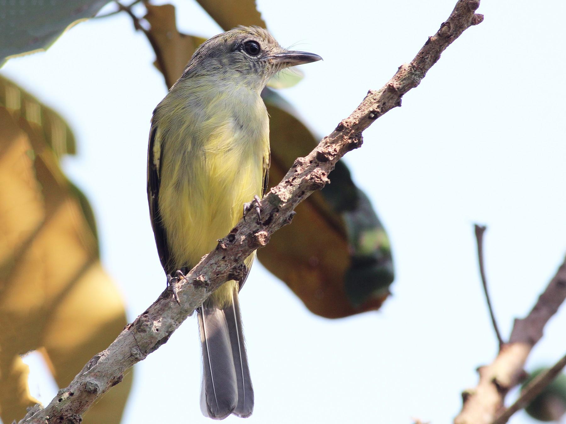 Yellow-margined Flycatcher - Nárgila Moura