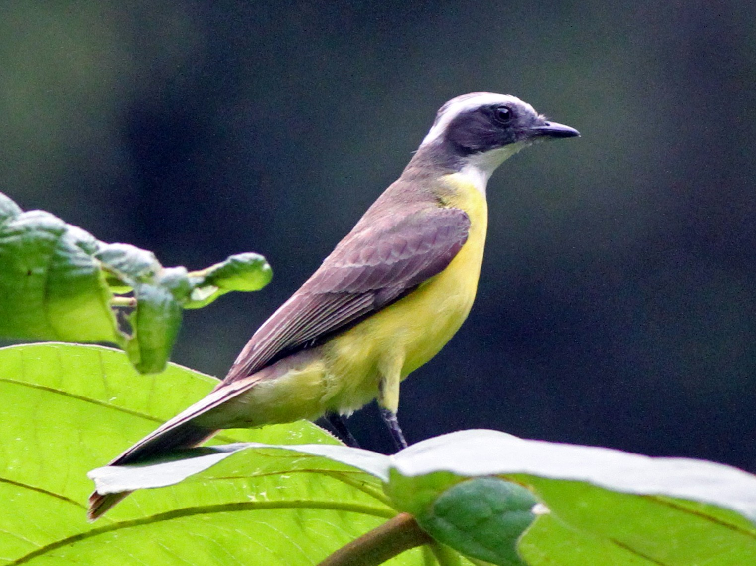 White-ringed Flycatcher - Georges Duriaux