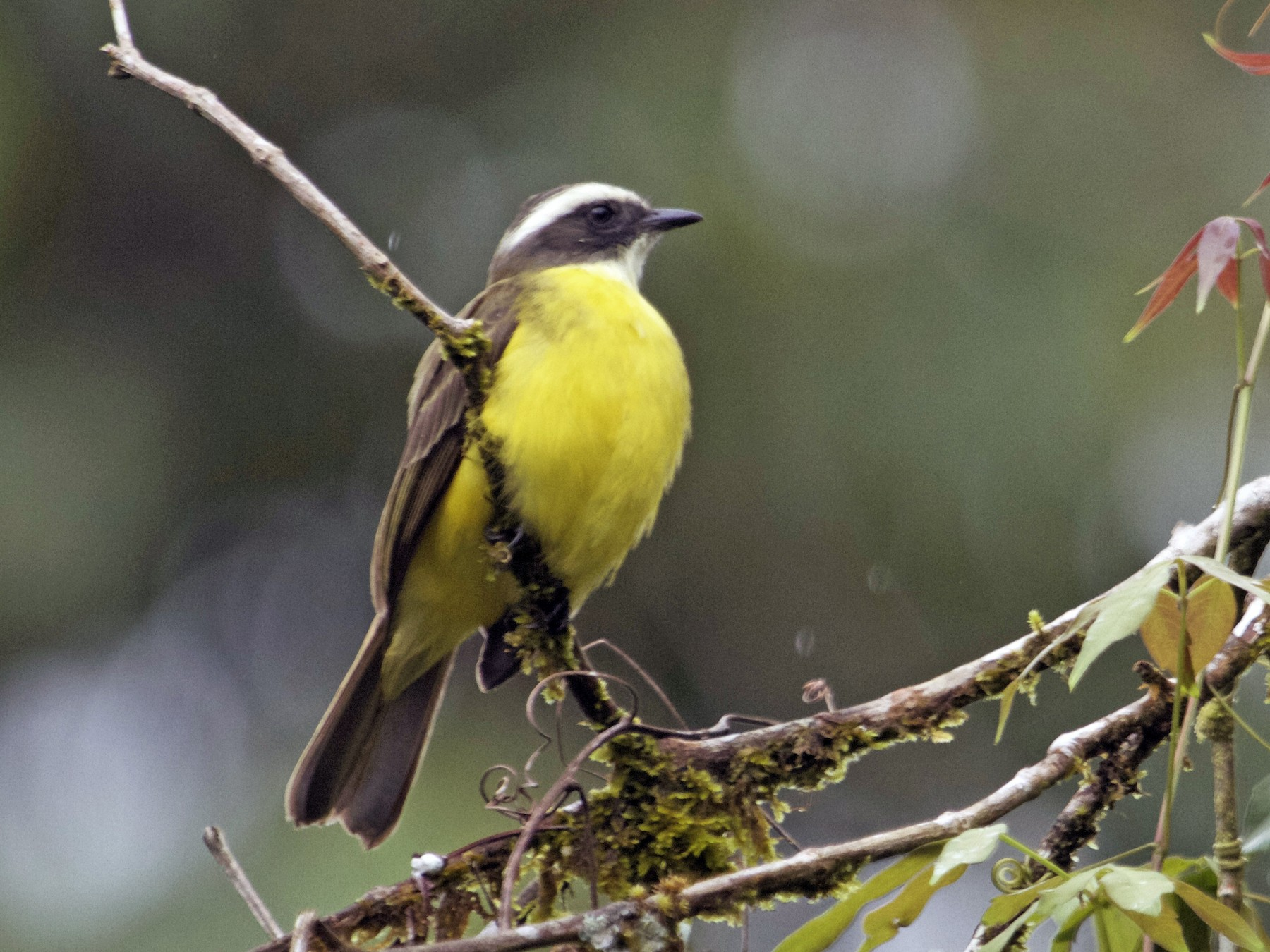 White-ringed Flycatcher - Will Sweet