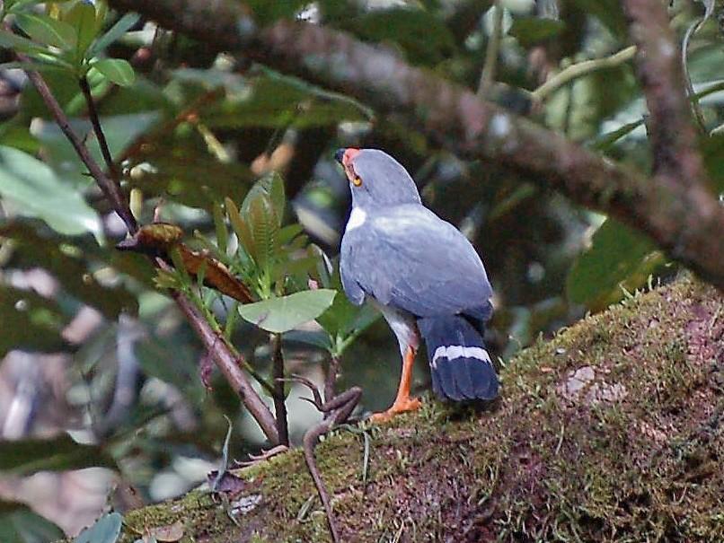 Semiplumbeous Hawk - David Fraser