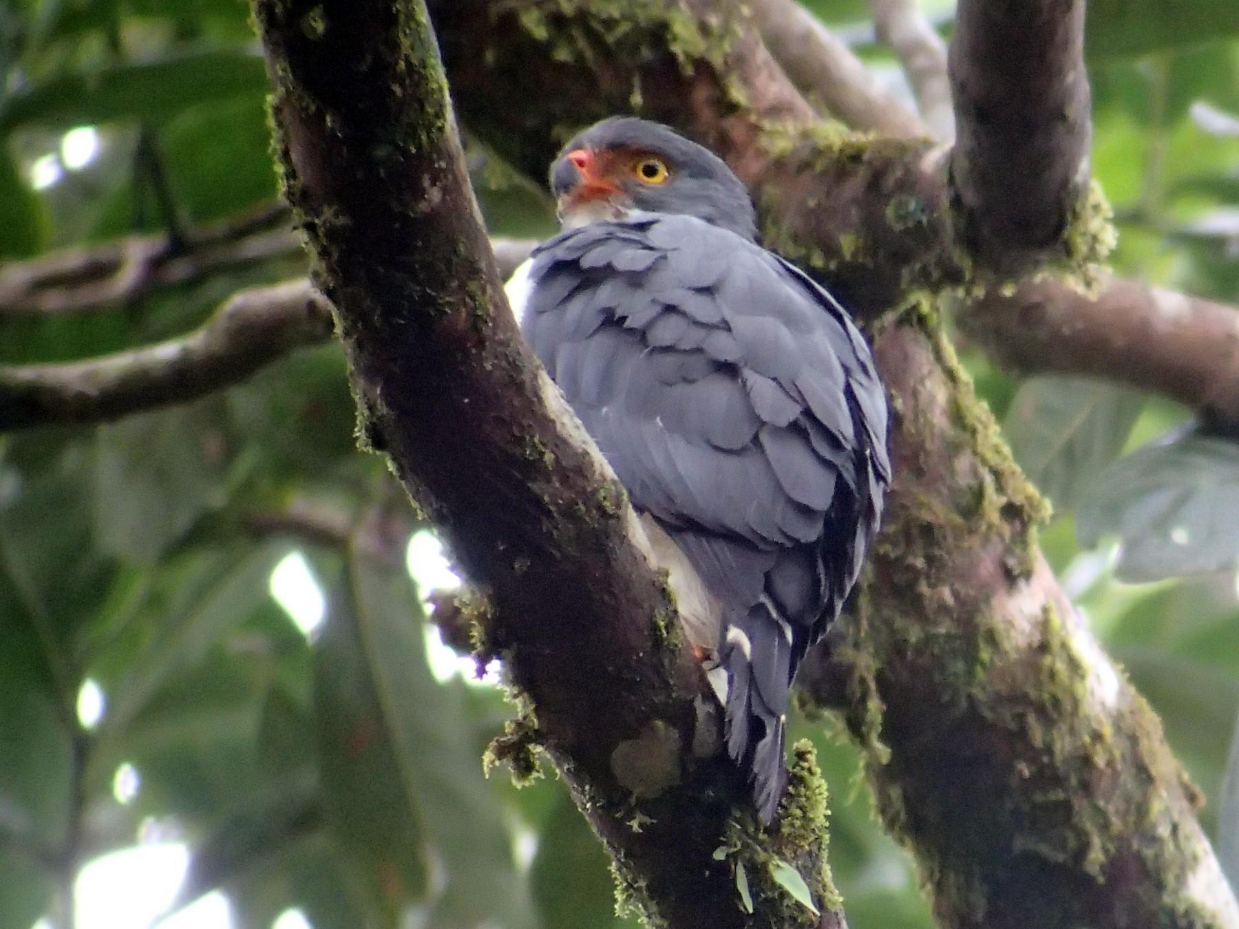 Semiplumbeous Hawk - Bruce Mast