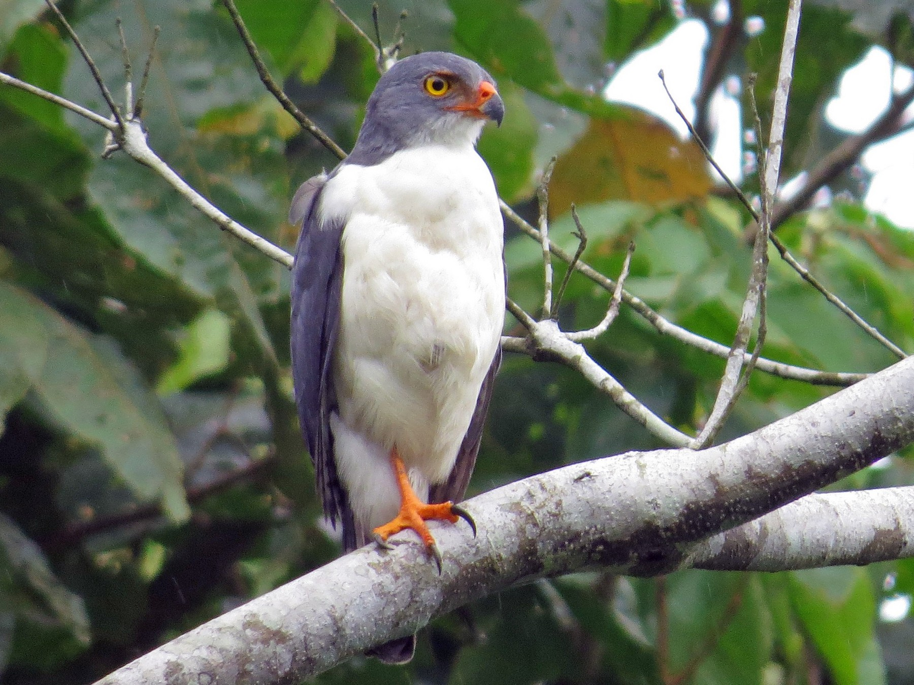 Semiplumbeous Hawk - Cory