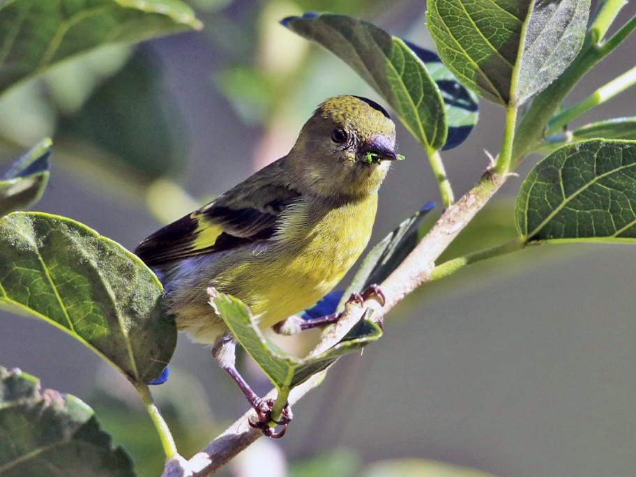 Yellow-bellied Siskin - Tom Murray