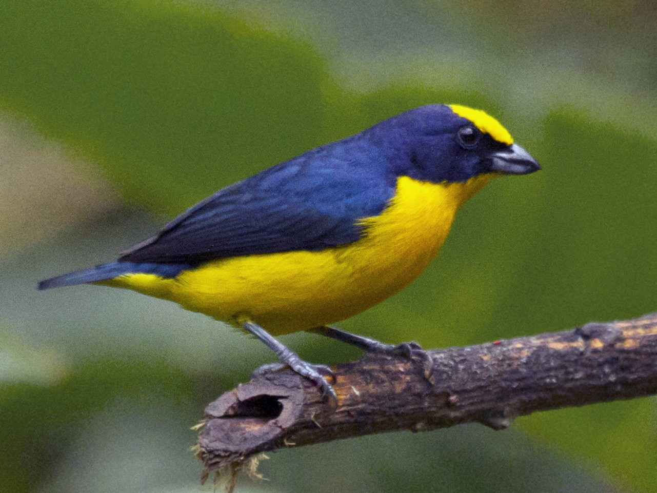 Thick-billed Euphonia - Penny Bauer