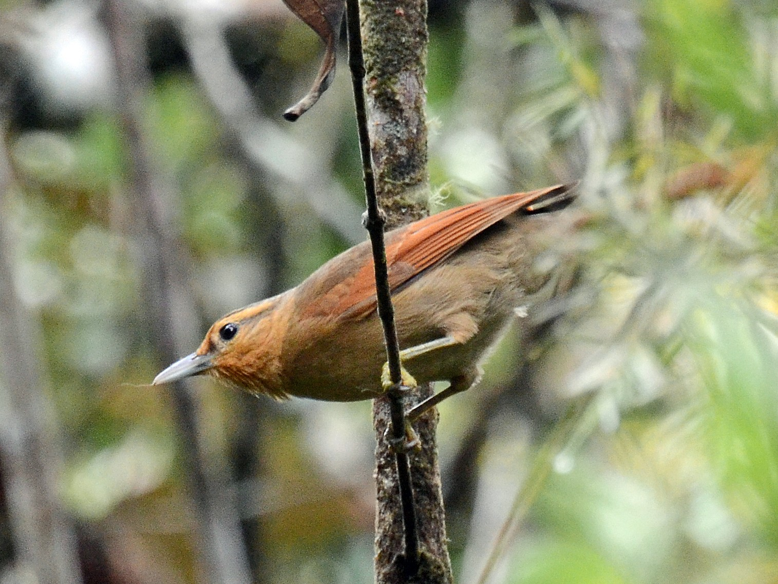 Buff-fronted Foliage-gleaner - David M. Bell