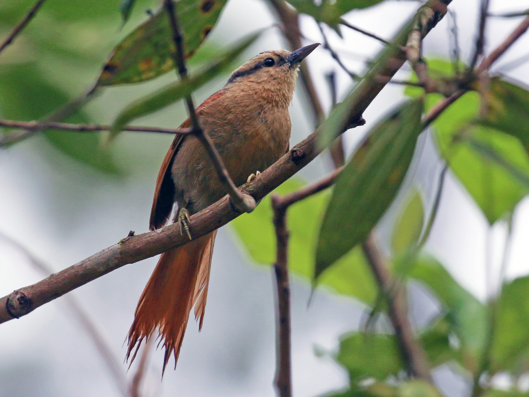 Buff-fronted Foliage-gleaner - Tommy Pedersen