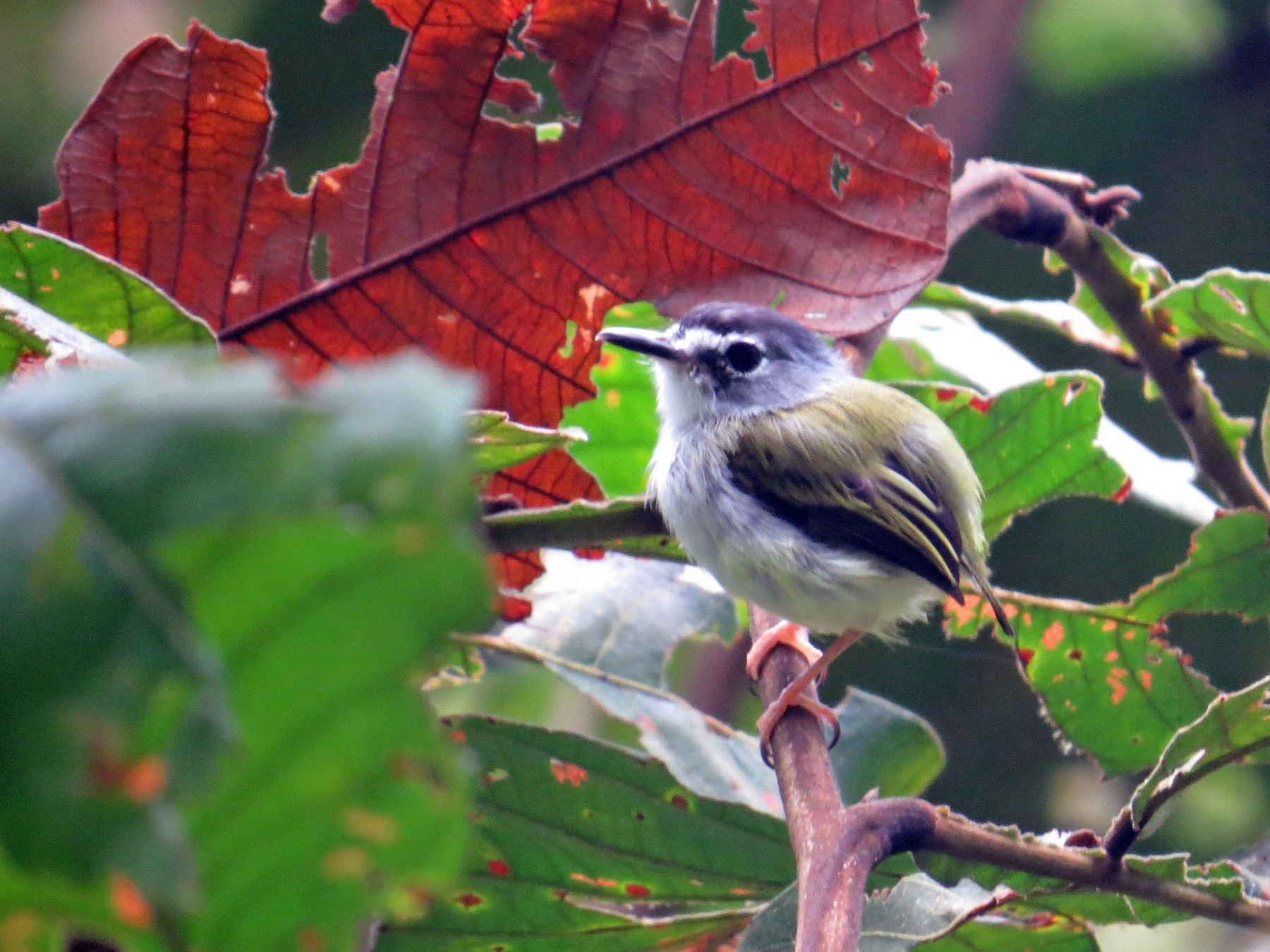 Black-capped Pygmy-Tyrant - Mark Kosiewski