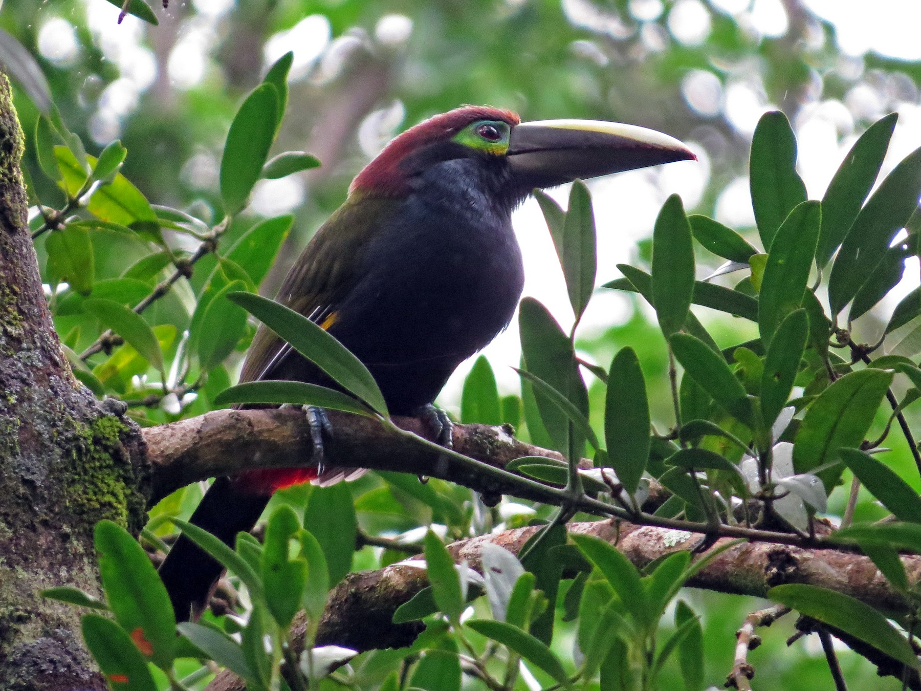Yellow-eared Toucanet - kenneth reyes