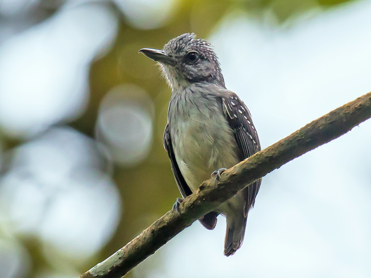 Spot-crowned Antvireo - graichen & recer