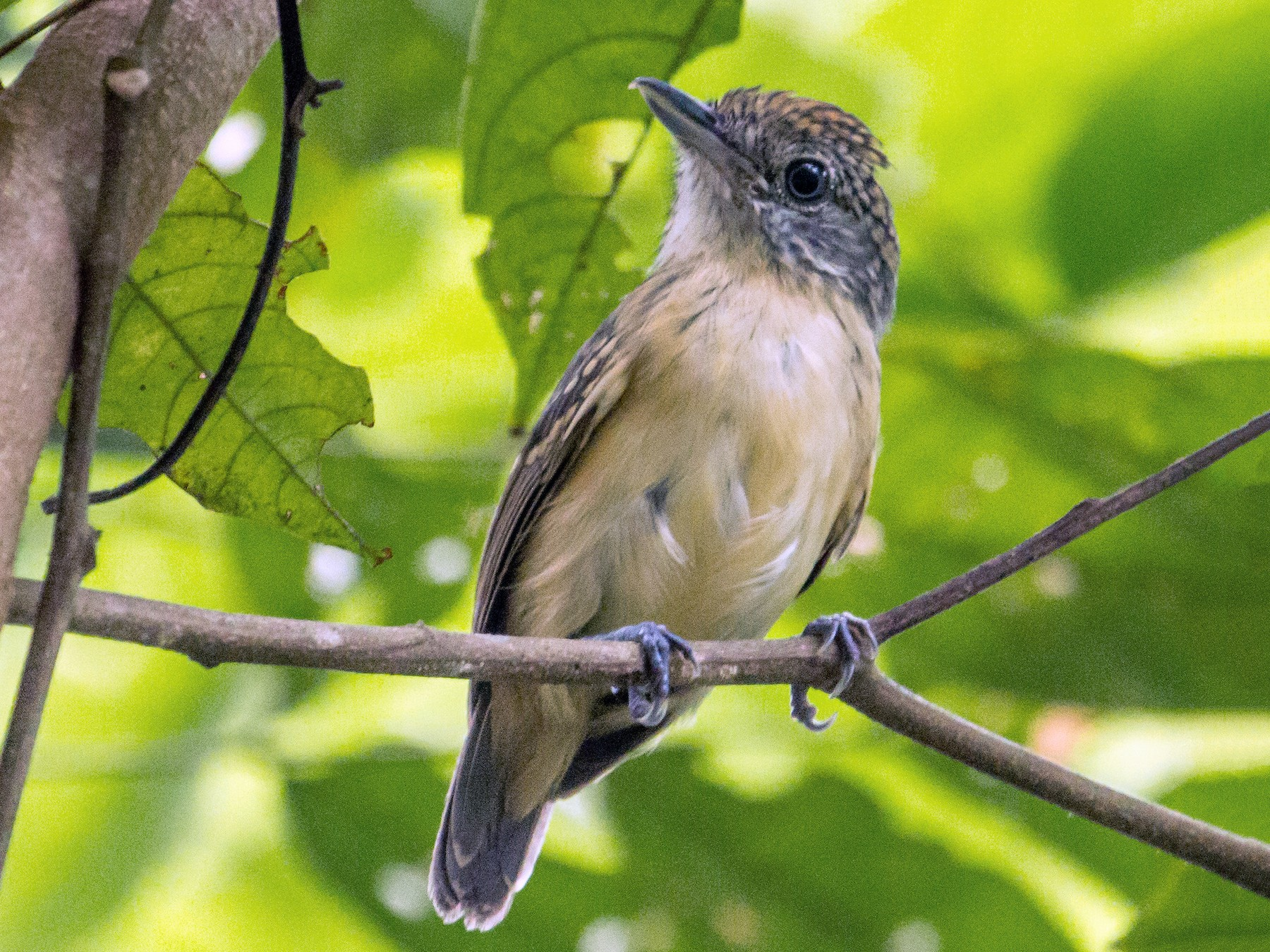Spot-crowned Antvireo - Jan Allen
