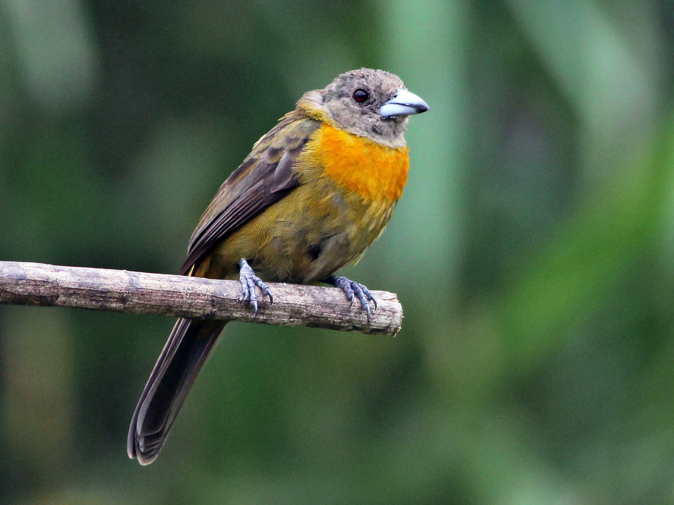 Scarlet-rumped Tanager - Scott Olmstead