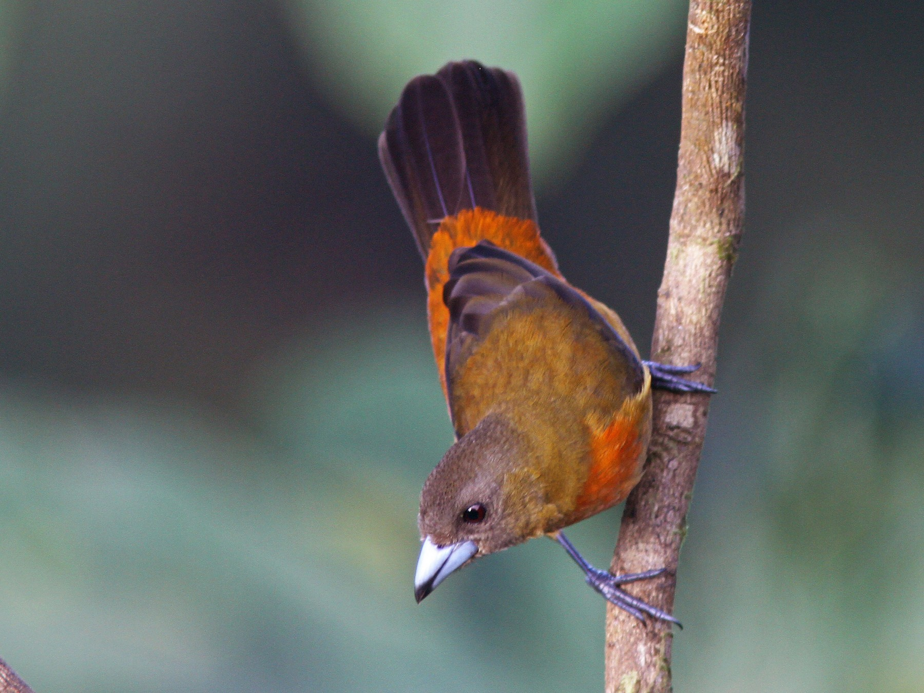 Scarlet-rumped Tanager - Larry Therrien