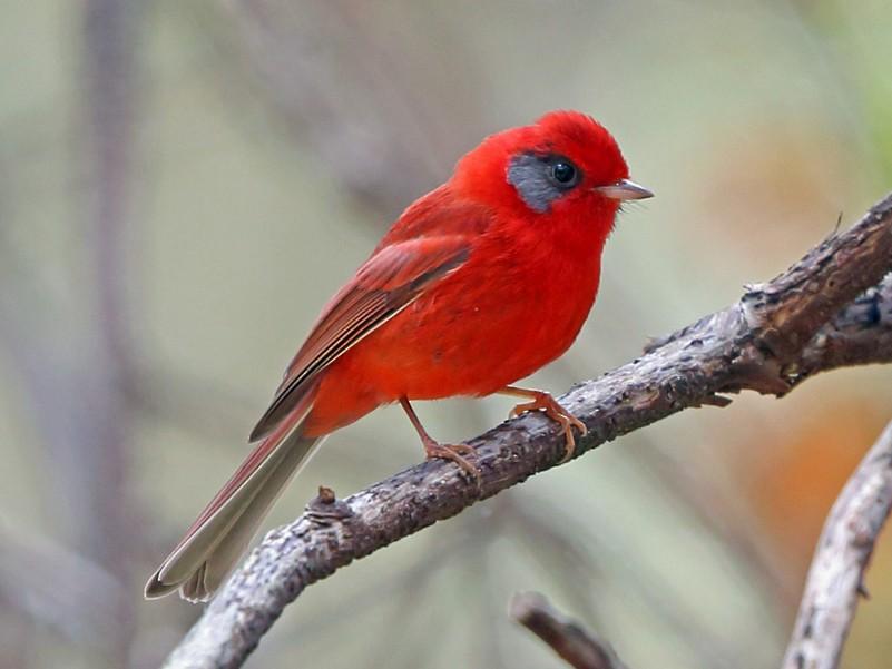 Red Warbler - Nigel Voaden