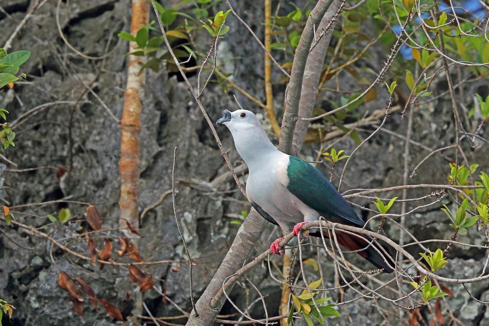 Spice Imperial-Pigeon - Nigel Voaden