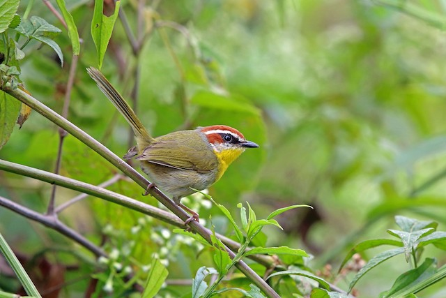 Rufous-capped Warbler (rufifrons Group)