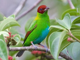 - Rufous-winged Tanager