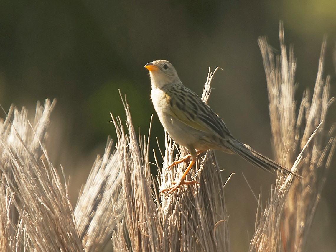 Wedge-tailed Grass-Finch - Marcelo Allende