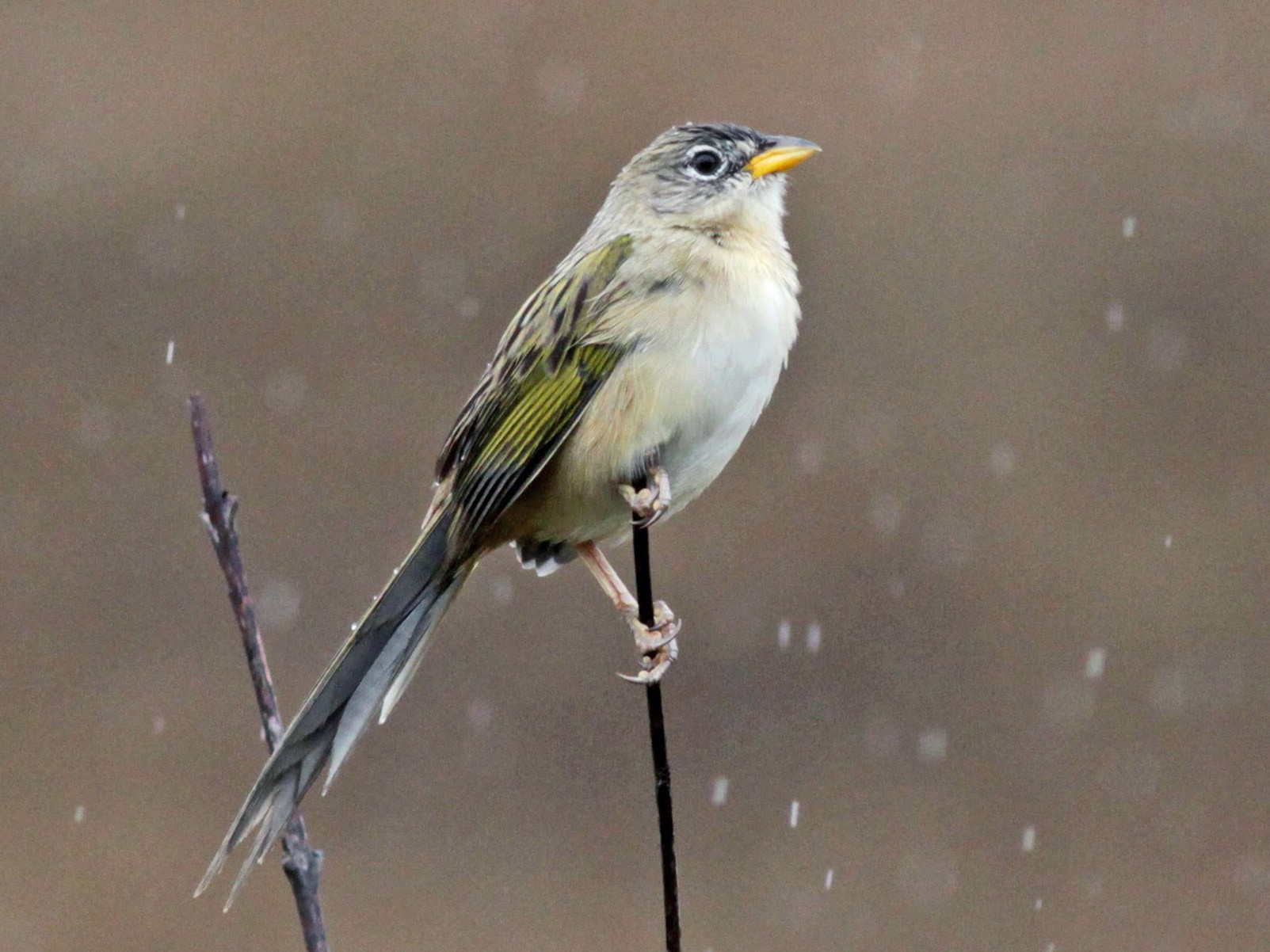 Wedge-tailed Grass-Finch - Jay McGowan