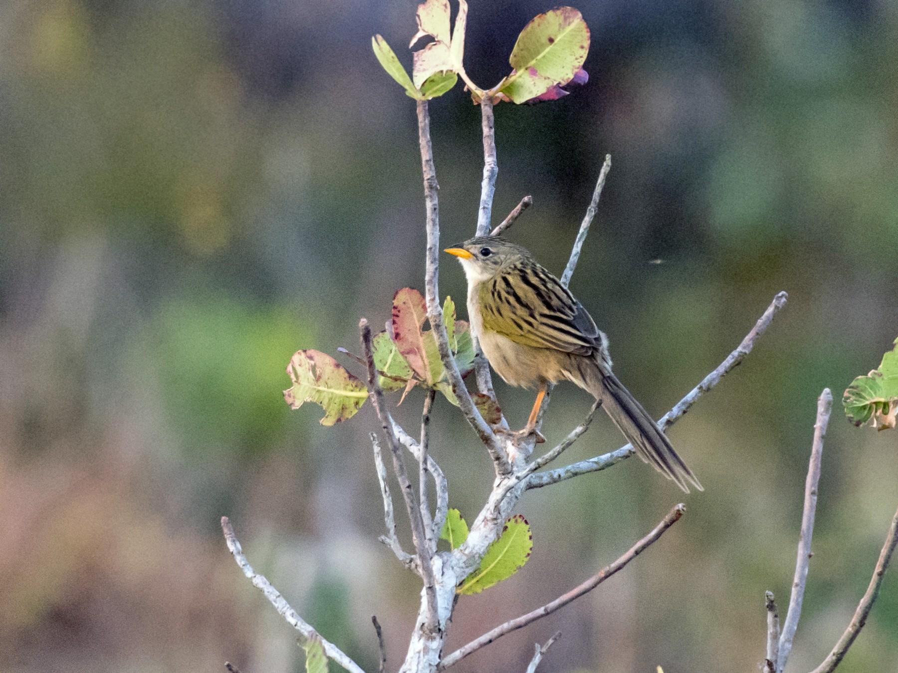 Wedge-tailed Grass-Finch - Hank Davis