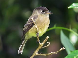- Black-capped Flycatcher