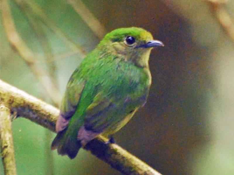 Blue-crowned Manakin - Bob Zaremba