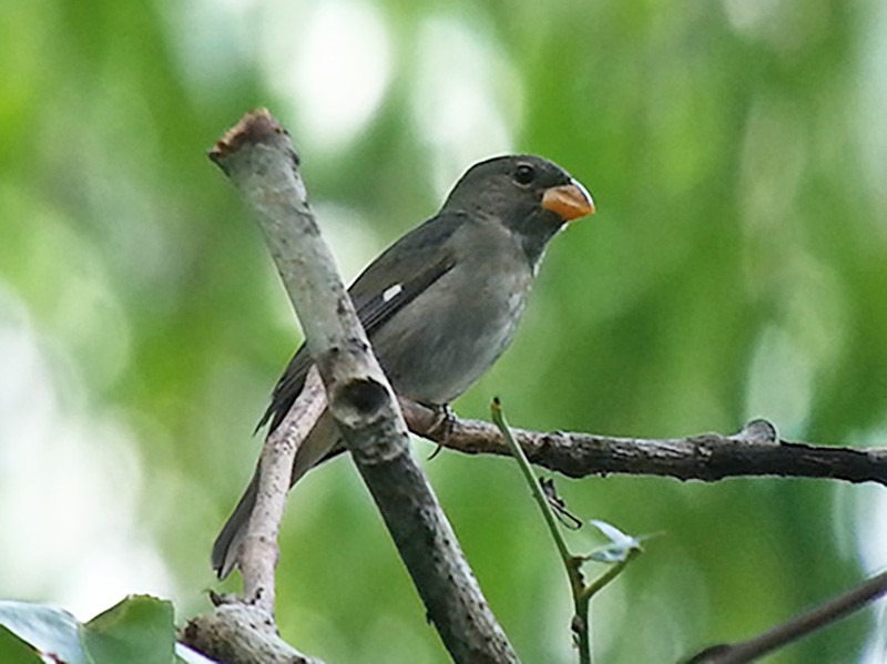 Slate-colored Seedeater - Euclides