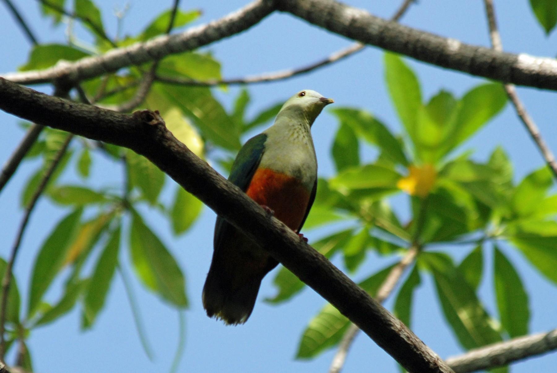 Silver-capped Fruit-Dove - Nigel Voaden