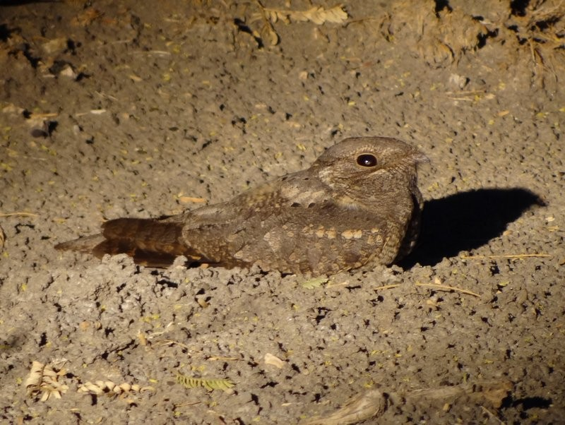 Plain Nightjar - Catherine McFadden