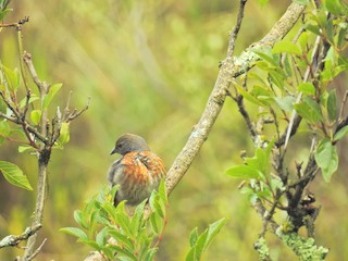 - Rufous-breasted Warbling-Finch