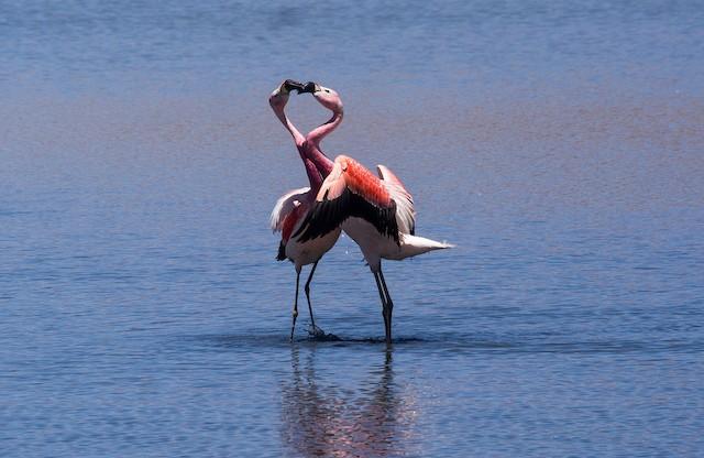 Andean Flamingos interacting.