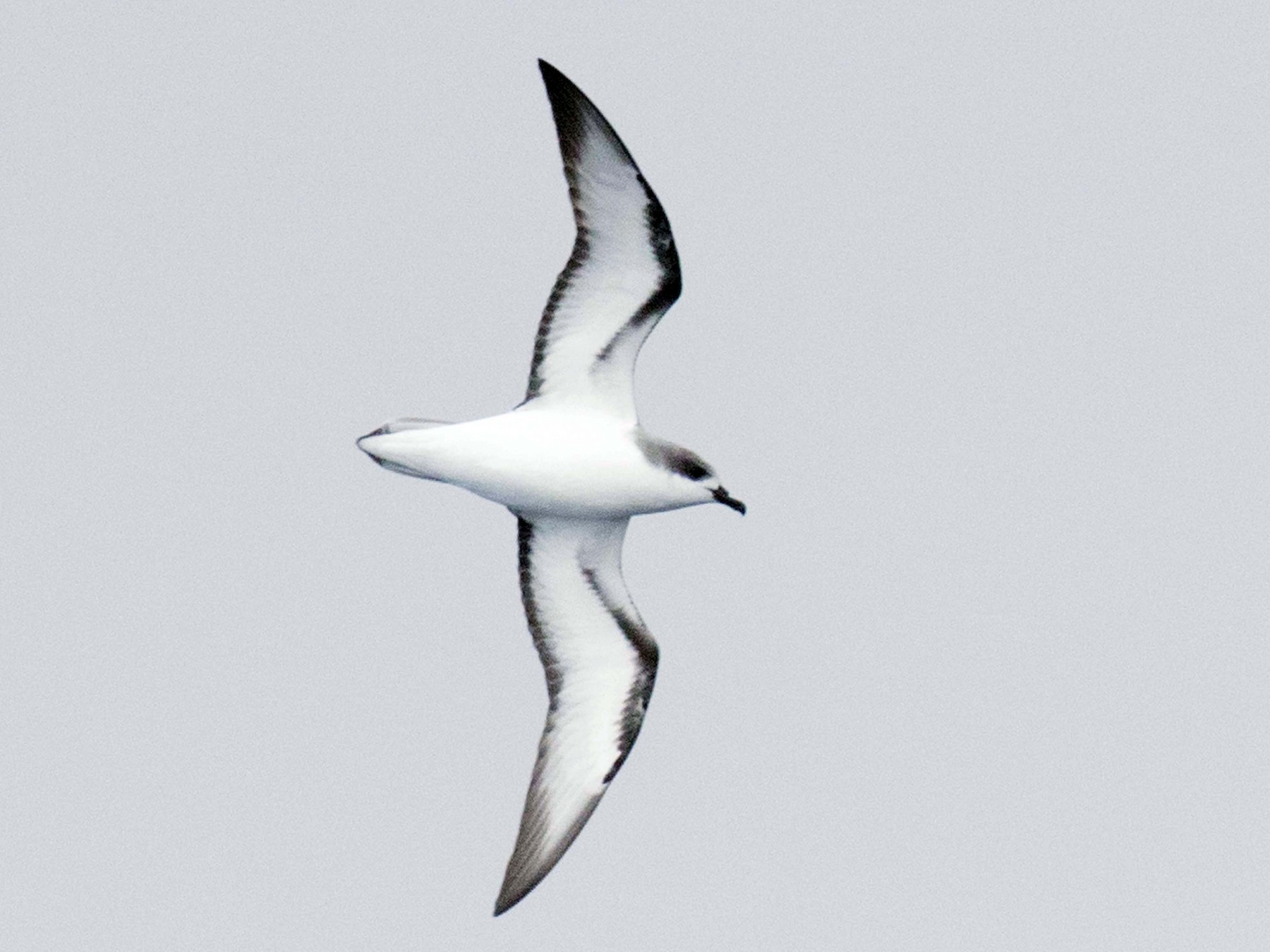 Cook's Petrel - Richard Webber