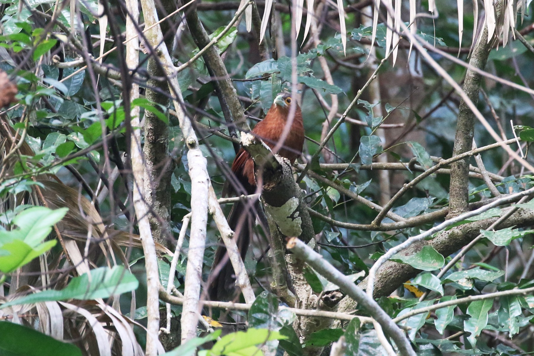 Rufous Coucal - Charley Hesse TROPICAL BIRDING