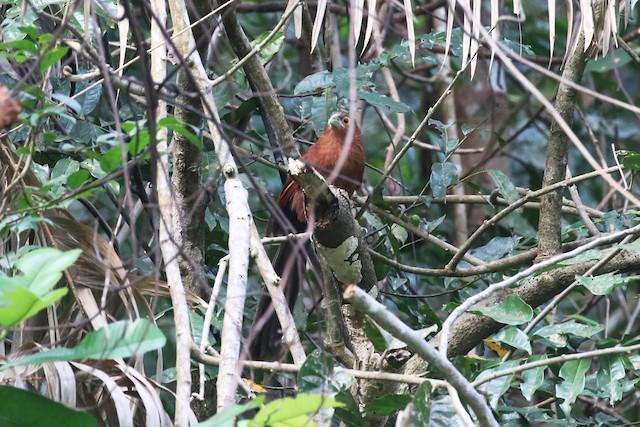 Rufous Coucal