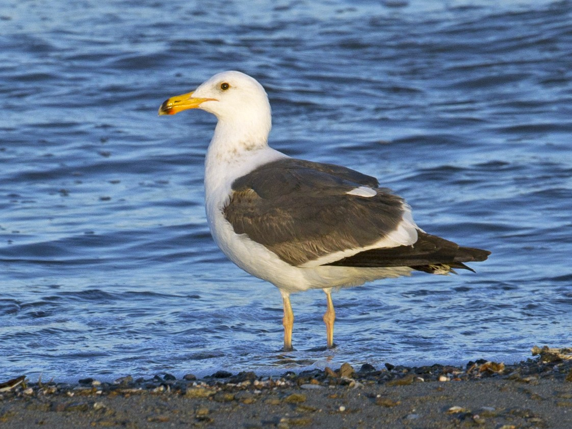 Yellow-footed Gull - Steven Whitebread