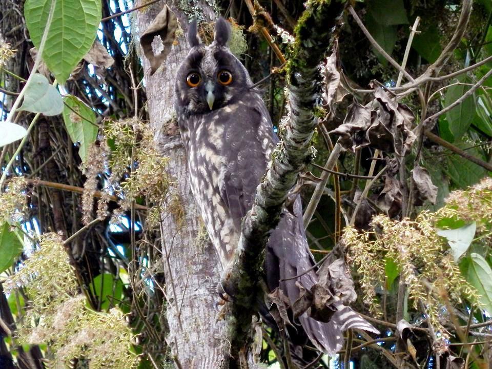 Stygian Owl - Maria Teresa Jaramillo Jaramillo